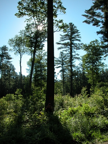 Menominee Forest Trees